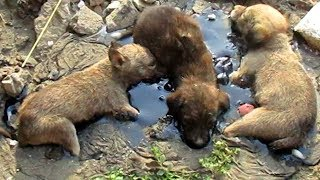 Stuck for hours in rock-solid tar, puppies rescued. Watch til the end.