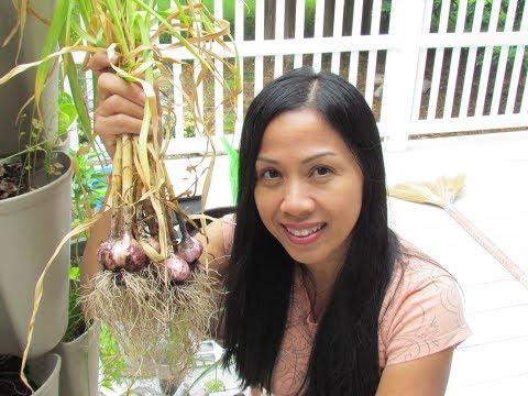 Garlic Harvest Summer 2018