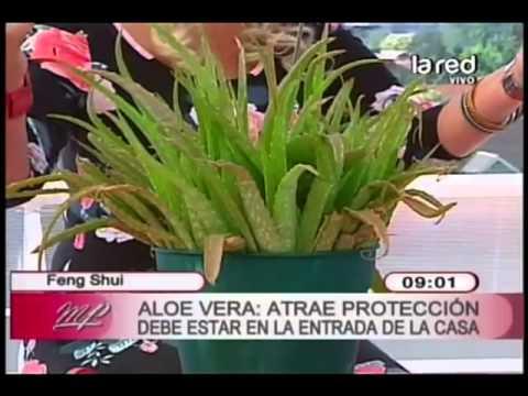 Feng shui de las plantas aloe vera atrae protecci n - Plantas para atraer el dinero ...