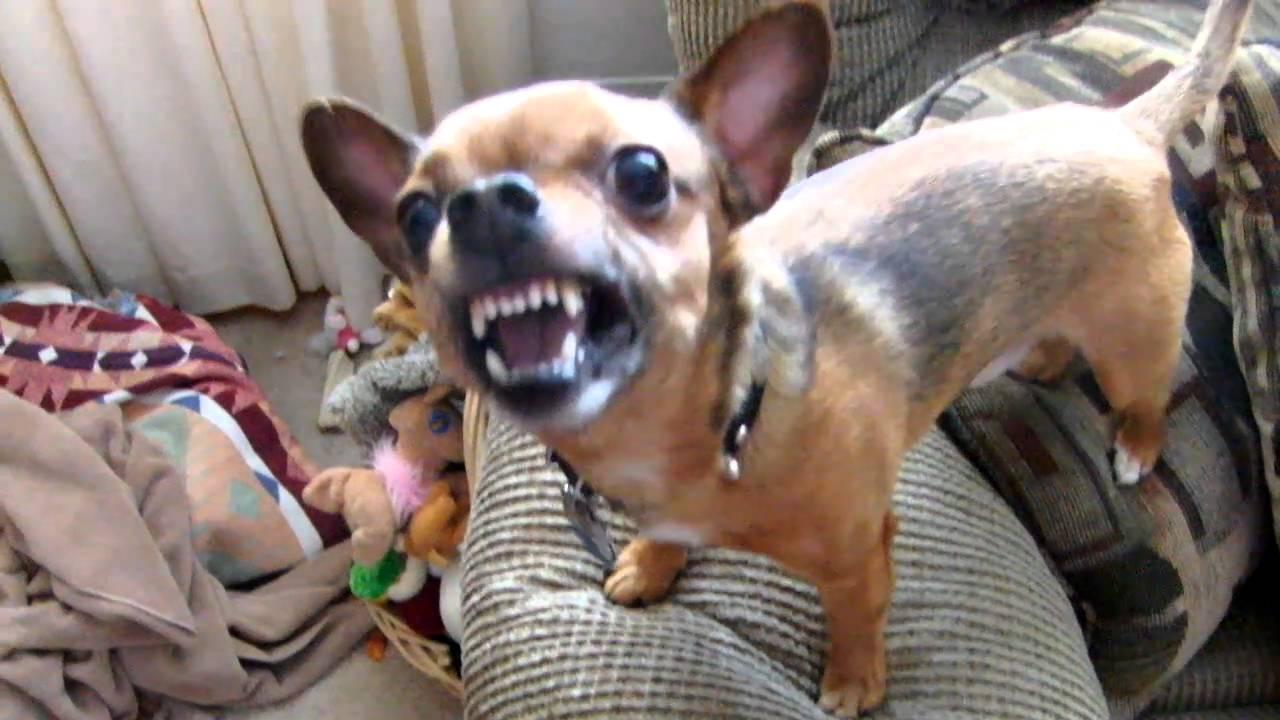 Chihuahua Mad Dog Franklin Youtube