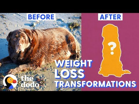 Top 5 Dog Weight Loss Transformations   The Dodo