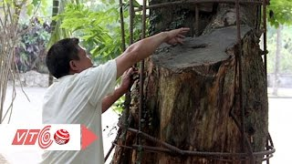 Ly kỳ câu chuyện 'cây sưa 150 tỷ'   VTC