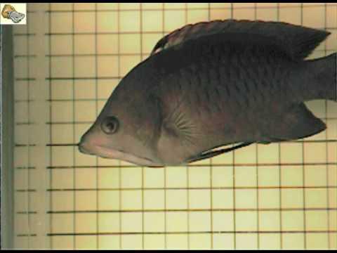 Неверојатна еластичност на вилицата на риба