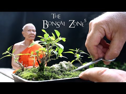 My Smallest Trees, The Bonsai Zone, June 2018