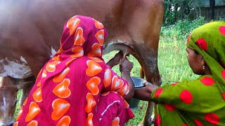 Milking dairy cow by woman । Cow milking ( 🐄)