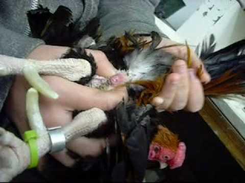 Veštačka insemenacija kokoške