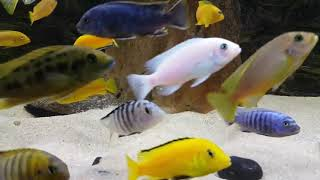 40 minute relaxing  Cichlids Aquarium from Lake Malawi with Beethoven classical music