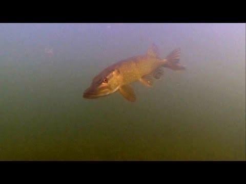 Щука атакует рыбу под водой