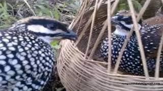 tiếng chim đa đa mái
