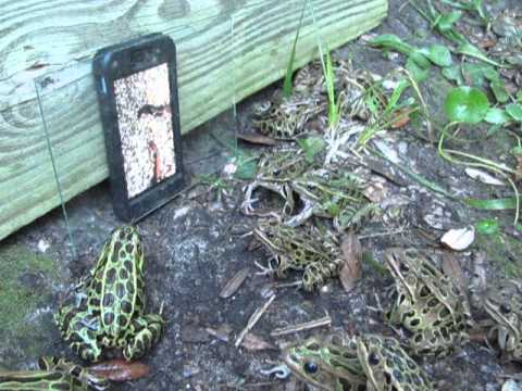 Žabe se zabavljaju