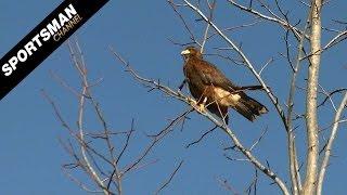 Falconry: Hunting Rabbits Part 1