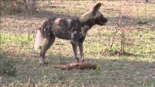 African Painted Dog Gets Baby Impala