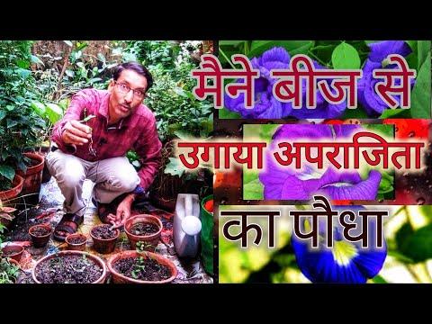 सीखीये बीज से आप कैसे उगायें अपराजिता का पौधा, एक चमतकारी पौधा / Blue Pea Aparajita from Seeds