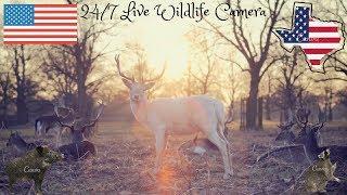 LIVE Deer Cam, Raccoons, Fish, Birds And Wild Hogs Wildlife Cam - North Texas 24/7 LIVE Stream
