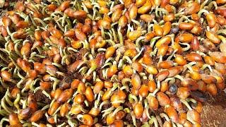 Tận mắt xem bà con ươm hạt sầu riêng | Vietnam travel