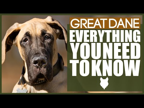 GREAT DANE 101! Everything You Need To Know About The GREAT DANE