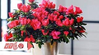 Kinh nghiệm trồng hoa hồng trong chậu | VTC