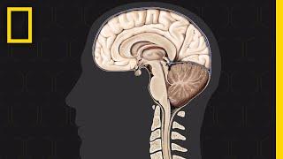 Brain 101   National Geographic