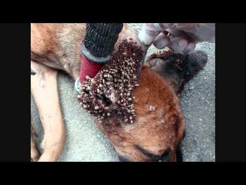 Solucion final eliminar pulgas y garrapatas mascotas - Matar pulgas en casa ...