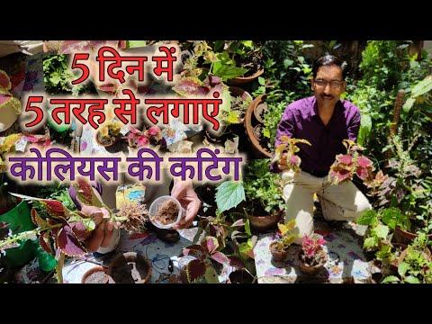 5 दिन में 5 तरह से करें कोलियस की कटिंग, मुफ्त में पाएं हजारों पौधे / Coleus Cuttings free of cost