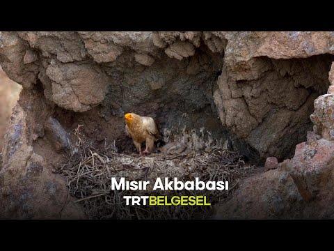Mısır Akbabası | Tabiatın Çöpçüsü Küçük Akbaba