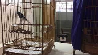 Cách chọn chim chòe than mộc, bổi - rất cần đối với người mới chơi chim