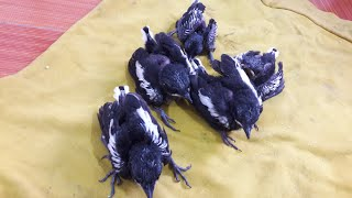 Đi tìm tổ chim chích chòe than non đầu mùa cực đơn giản || Phần 1.
