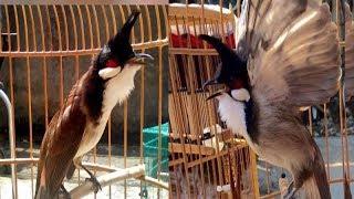 Chim chào mào hót đấu hay nhất | X.òe, Ché chéc c.ăng đ.ét, Không thể bỏ qua - Bẫy đấu chim chào mào