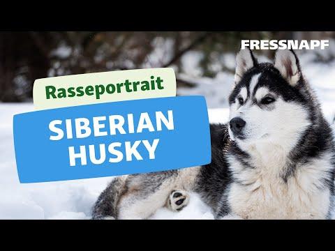 Rasseportrait: Husky