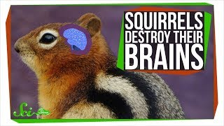 Why These Squirrels Destroy Their Brains Every Winter