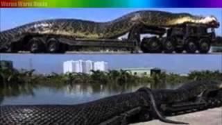 Video Keajaiban  - Ular terbesar di dunia ternyata ada di Kalimantan