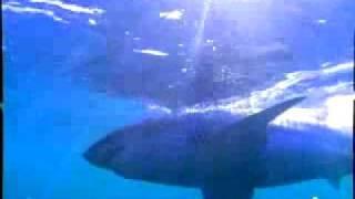 ホオジロザメ18
