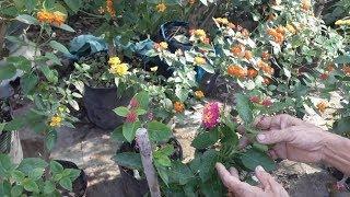 Hoa ngũ sắc ghép giờ đã ra hoa đẹp