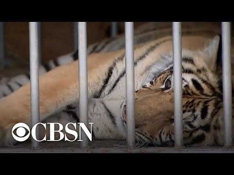 Tiger seen roaming Texas neighborhood found