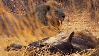Lions vs Hyenas   BBC Earth