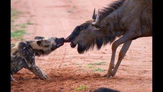 Cães selvagens atacam antilope o ñus
