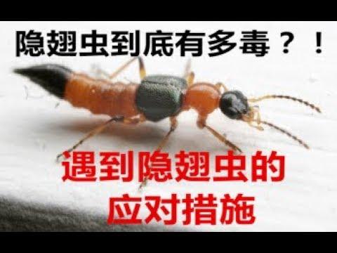 隐翅虫到底多毒? 如何预防隐翅虫