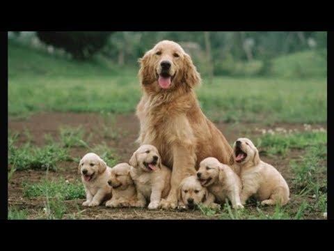 Funny and Cute  Golden Retriever Puppies Compilation #1 - Cutest  Golden Retriever