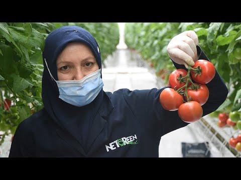 Kadınların çalıştığı jeotermal suyla ısıtılan cam serada, domates hasadı başladı