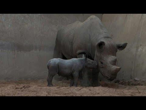 Un raro rinoceronte nace en cautiverio
