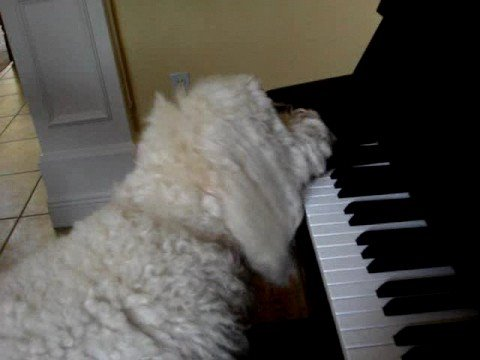 Dog Plays Piano - Elton Dog