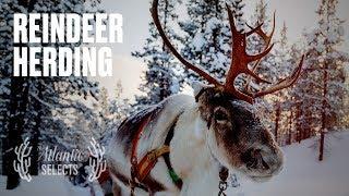 The Adrenaline Rush of Herding Reindeer