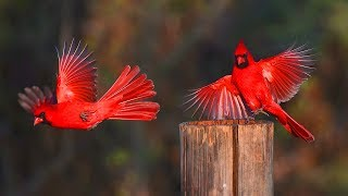 কার্ডিনাল পাখি | Unbelievable Northern Cardinal | Top 10 Most Stunningly Beautiful Birds in World