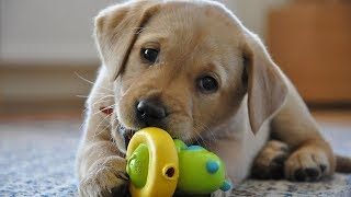 Funny Dogs Playing With Toys - Funny Dog Videos 2017