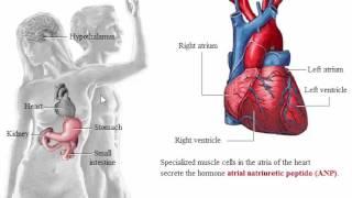 System Endocrine: System Endocrine Glands In Organ