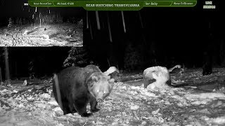 🔴 BEARS AND OTHER WILD ANIMALS LIVE STREAM - TRANSYLVANIA, EUROPE
