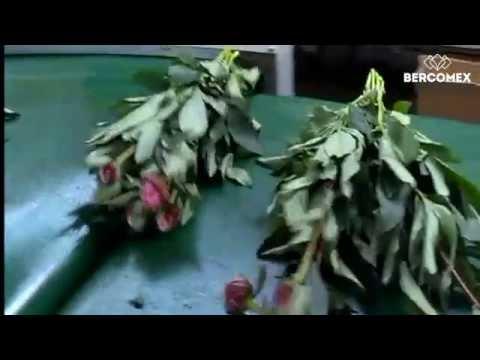 Zomerbloemenkwekerij Daling sorteert en bost pioenen volautomatisch met een Bercomex Furora Nova