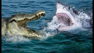 Unbelievable Crocodile Vs Shark | Who Will Be The Winner ?