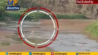Tiger spotted in Kumarambheem Asifabad, create ripples..