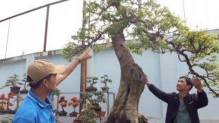 320 triệu cây này cũng không bán, tùng la hán đẹp mà rẻ - super bonsai trees at the bonsai market